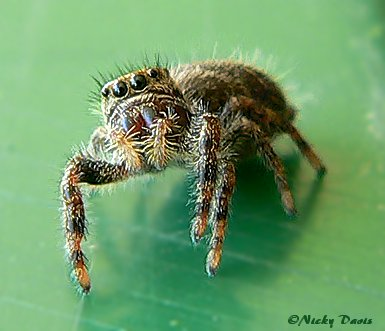 Unknown Phidippus