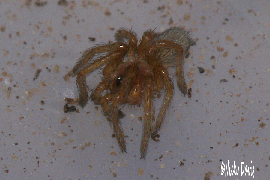 spiderling 11sep