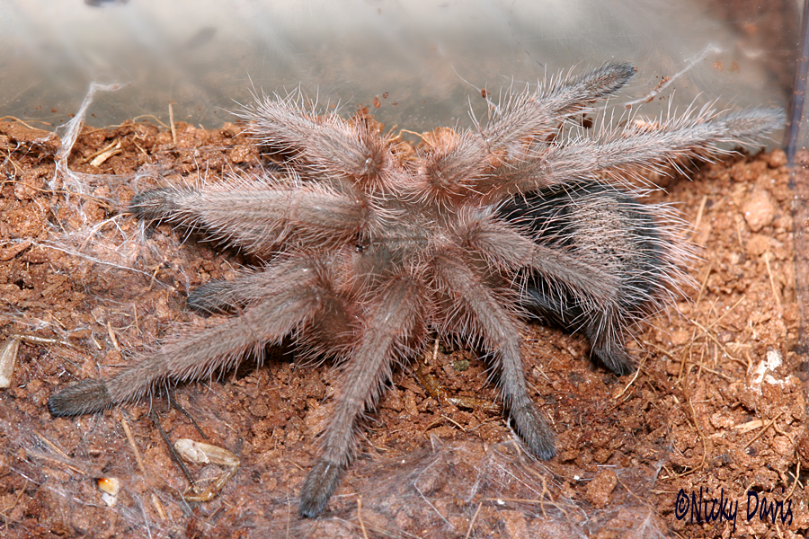 rosea on 31 July 2017, day after molt