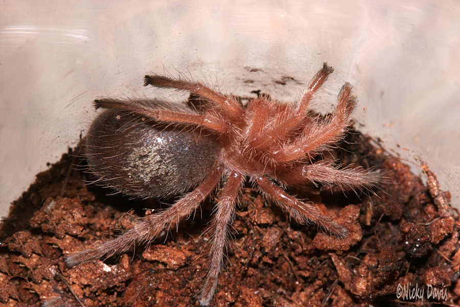Grammostola rosea red phase
