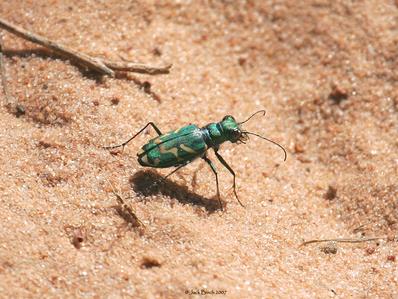 Utah Tiger Beetle