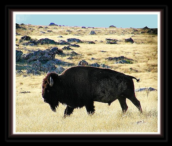 Bison at Antelope Island, Davis County, Utah August