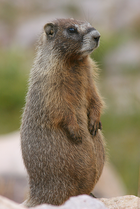 marmot on wrong side of road