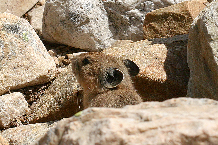Pika peeking out from rocks
