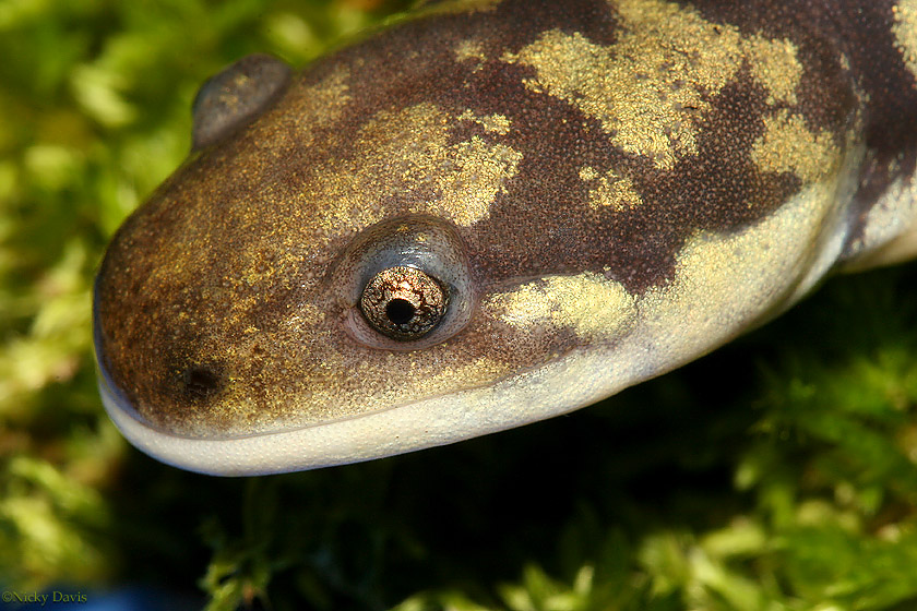 Tiger Salamander head - Always looks as if it's smiling - brownish black ground with gold spots spattered along the back - eyes appear golden                        spattered with gold dust