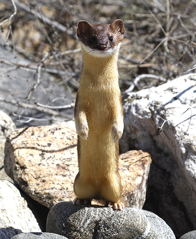 Weasel on the look out.