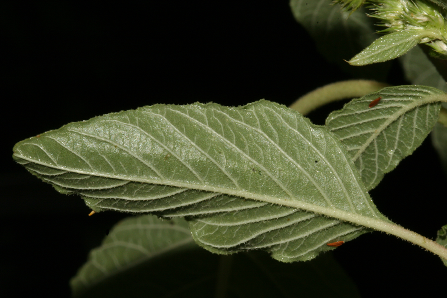 back of leaves