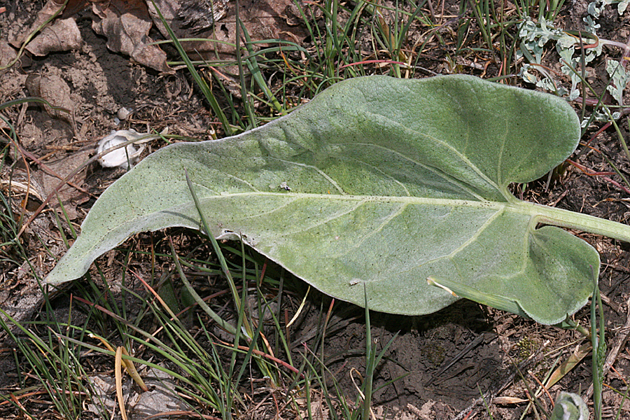 leaf of arrowleaf balsamroot