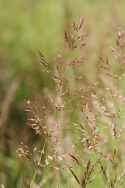 bent grass seed head
