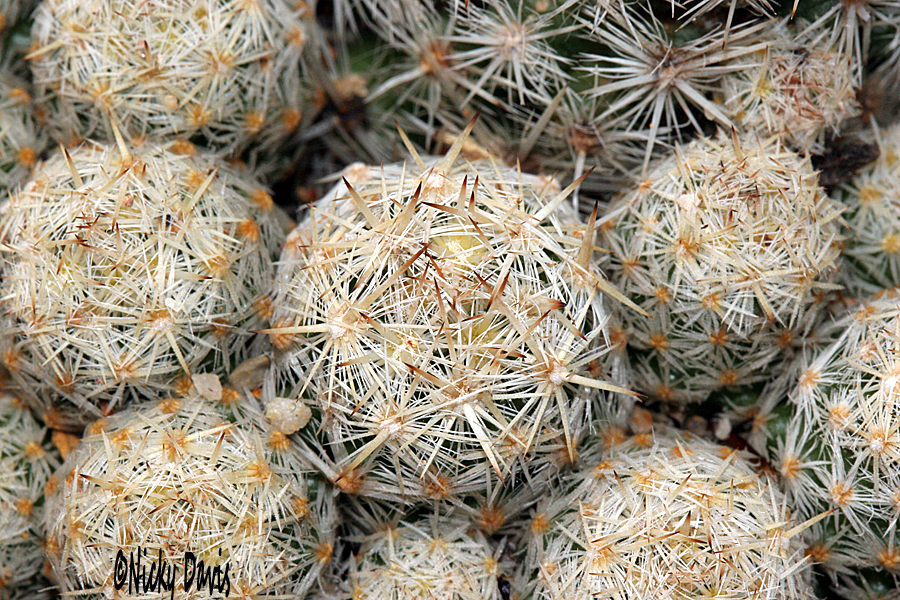 cactus ball shaped