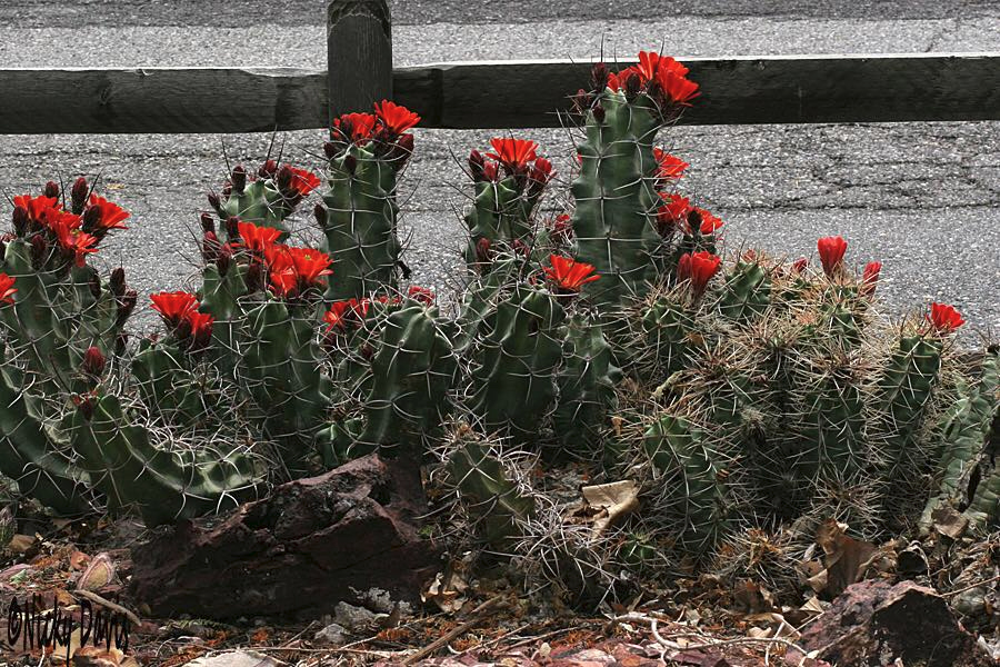 Kingcup - Echinocereus triglochidiatus