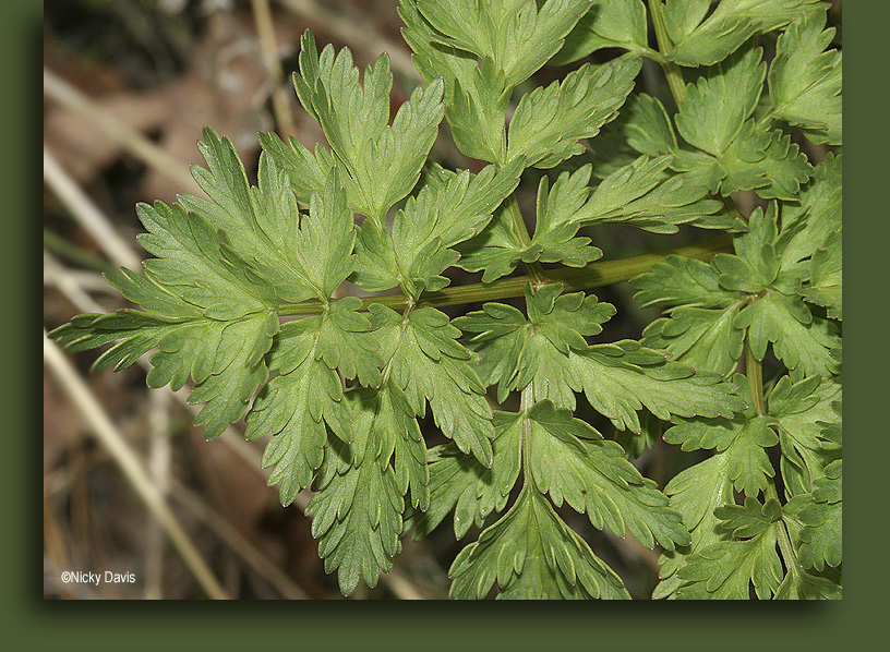 leaves of Lomatium dissectum or Indian Parsley