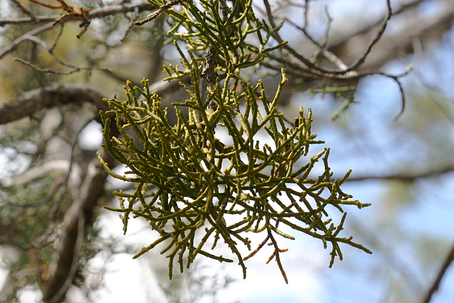 mistletoe, Juniper