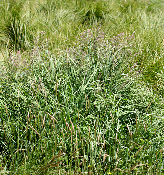 rough bent grass