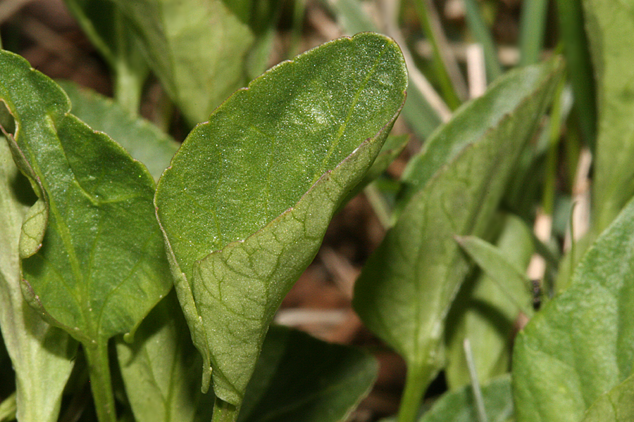 leaves of  Viola adunca